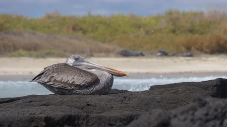 pelicans : Galapagos brown pelican bird resting on Isabela Island, Galapagos Islands, Ecuador, South America. The Galapagos pelicans are an endemic sub-species of the Pelican bird. Galapagos Animals and wildlife Stock Footage