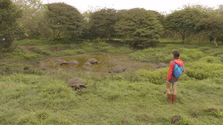 sürüngen : Galapagos Giant Tortoise on Santa Cruz Island in Galapagos Islands. Group of many Galapagos tortoises cooling of in water hole. Amazing animals, nature and wildlife video from Galapagos highlands.