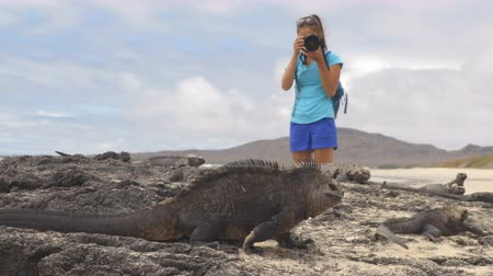 игуана : Galapagos Iguana and tourist wildlife photographer taking picture. Marine Iguana shaking and bobbing its head walking showing threat and dominance. Marine iguana on Isabela, Galapagos Islands, Ecuador Стоковые видеозаписи