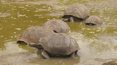 mud bath : Galapagos Giant Tortoise on Santa Cruz Island in Galapagos Islands. Group of many Galapagos tortoises cool of in water hole. Amazing animals, nature and wildlife video from Galapagos Islands highlands