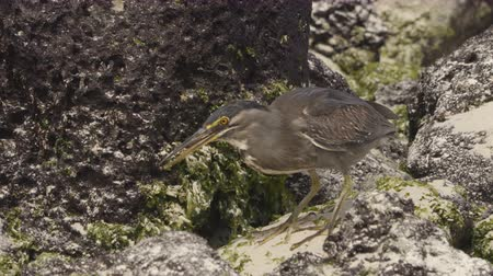 subspecies : Striated Heron on Galapagos Islands foraging and catching and eating food on Tortuga Bay, Santa Cruz Island. Amazing bird animals wildlife nature of Galapagos, Ecuador.