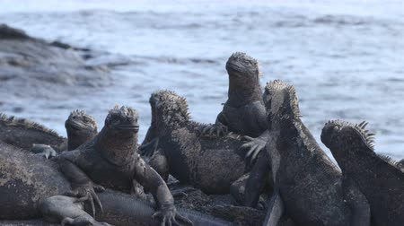 игуана : Galapagos Marine Iguana - Iguanas warming in the sun sneezing out salt on volcanic rocks on Fernadina Island, Espinoza Point. Amazing wildlife animals on Galapagos Islands, Ecuador. Стоковые видеозаписи