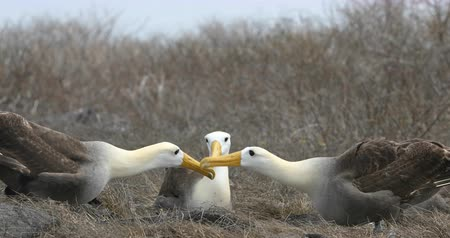 çiftleşme : Galapagos Albratross aka Waved albatrosses mating dance courtship ritual on Espanola Island, Galapagos Islands, Ecuador. The Waved Albatross is an critically endangered species endemic to Galapagos. Stok Video