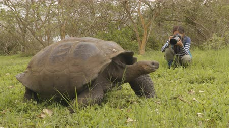 sürüngen : Galapagos Giant Tortoise and tourist photographer on Santa Cruz Island in Galapagos Islands. Animals, nature and wildlife video close up of tortoise in the highlands of Galapagos, Ecuador. Stok Video