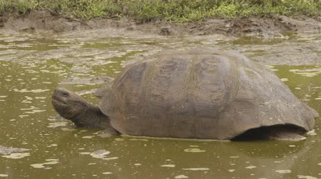 mud bath : Galapagos Giant Tortoise on Santa Cruz Island in Galapagos Islands. Galapagos tortoises yawning and cool of in water hole. Amazing animals, nature and wildlife video from Galapagos Islands highlands Stock Footage