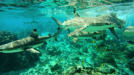 shark : Sharks - Blacktip Reef Sharks (Carcharhinus melanopterus) swimming over tropical coral reef. Many reef sharks feeding in French Polynesia Tahiti in coral reef lagoon in Pacific Ocean. Underwater video Stock Footage
