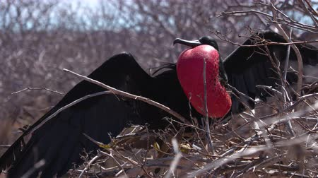 equador : Frigatebird on Galapagos islands. Magnificent Frigate-bird on North Seymour Island. Male frigate bird with inflated red neck gular pouch (thoat sac) and wings spread out attracting females. Stock Footage