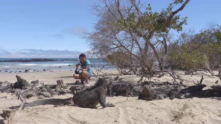 iguana : Ecotourism tourist videographer taking wildlife videos on Galapagos Islands of famous marine iguanas. Focus on marine iguana. Woman taking pictures on Isabela island in Puerto Villamil Beach.