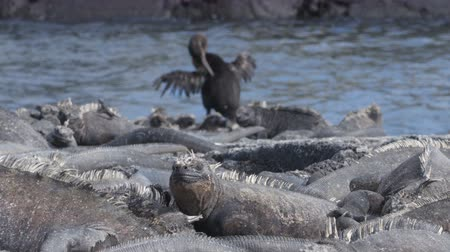 iguana : Flightless Cormorant drying wings next to Marine Iguanas on Fernandina Island, Espinoza Point, Galapagos Islands. Amazing birds, nature and wildlife on Galapagos, Ecuador, South America.