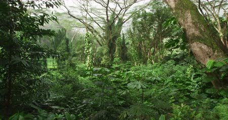 Оаху : Rainforest on Oahu, Hawaii, USA. Nature landscape video of lush trees in tropical rainforest on Hawaii. RED cinema camerain SLOW MOTION.