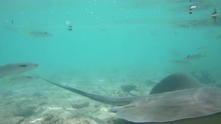 stingray : Stingray underwater video of animals and wildlife in nature in French Polynesia, Bora, Bora, Tahiti. Stringrays are often seen on snorkeling and diving tours. Overwater bungalows and mount otemanu. Stock Footage