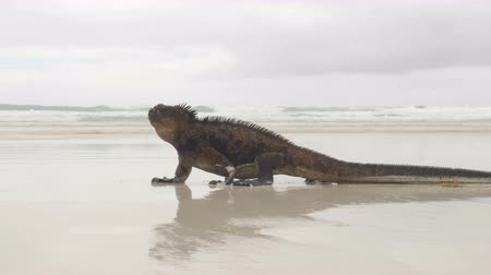 игуана : Galapagos Islands. Marine Iguana walking on Tortuga bay. Male Marine iguana on beach on Santa Cruz Island, Galapagos Islands. Animals, wildlife and beautiful nature landscape in Ecuador, South America Стоковые видеозаписи