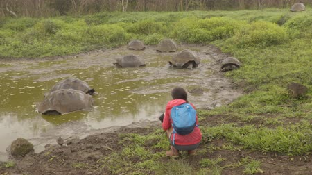 mud bath : Galapagos Giant Tortoise on Santa Cruz Island in Galapagos Islands. Tourist photographing group of many Galapagos tortoises bathing in water hole. Animals, nature and wildlife video, Galapagos.