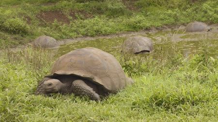 mud bath : Galapagos Giant Tortoise on Santa Cruz Island in Galapagos Islands. Group of many Galapagos tortoises cooling of in water hole. Amazing animals, nature and wildlife video from Galapagos highlands.