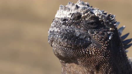 ecuador : Galapagos Islands - Galapagos Marine Iguana Closeup of head and face. Marine iguana is an endemic species in Galapagos Islands Animals, wildlife and nature of Ecuador. Stock Footage