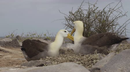 mates : Galapagos Islands. Galapagos Albatross aka Waved albatrosses mating dance courtship and social behaviour in nest on Espanola Island, Galapagos Islands, Ecuador. Typical Social behaviour.
