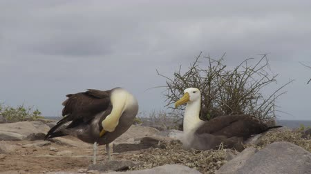 aves marinhas : Galapagos Islands. Mating pair of Galapagos Albatross aka Waved albatrosses in social behaviour in nest on Espanola Island, Galapagos Islands, Ecuador. Typical Social behaviour.
