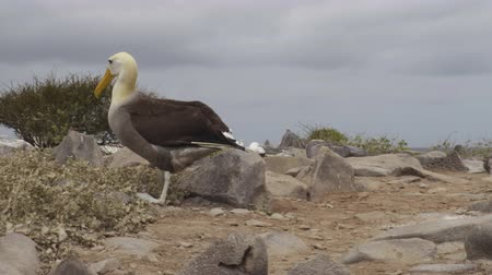 waddling : Galapagos Islands. Mating pair of Galapagos Albatross aka Waved albatrosses in social behaviour in nest on Espanola Island, Galapagos Islands, Ecuador. Alabtros waddle walking away.
