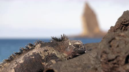 iguana : Galapagos Islands tourist destination icon Pinnacle Rock and Marine Iguana on Santiago Island in Galapagos Islands. Bartolome Island and in background. Famous Galapagos cruise ship tour destination.