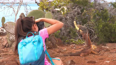 игуана : Galapagos tourist taking pictures of Galapagos Land Iguana eating plant on North Seymour Island, Galapagos Islands. Amazing animals and wildlife during Galapagos cruise ship vacation travel