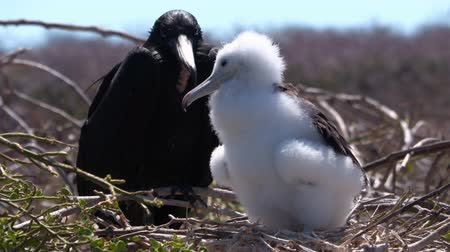 frigate : Frigatebird on Galapagos islands. Juvenile Magnificent Frigate-bird chick in birds nest, North Seymour Island, Galapagos Islands. Male frigate bird with red neck gular pouch in background