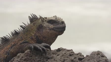volkanik : Galapagos Islands Marine Iguana in the sun resting on rock on Tortuga bay beach, Santa Cruz Island. Marine iguana is an endemic species in Galapagos Islands Animals, wildlife and nature of Ecuador. Stok Video