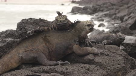 игуана : Galapagos Islands Marine Iguanas behavior crawling on each other in the sun rocks on Tortuga bay beach, Santa Cruz Island. Marine iguana is an endemic species in Galapagos Islands.