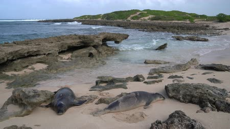 sky only : Hawaii - Hawaiian monk seals on Oahu North Shore Hawaii. The Hawaiian monk seal is an endangered species with a population of only around 1500 individuals. Animals and wildlife of Hawaii.