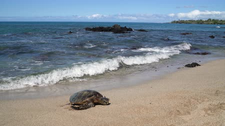megőriz : Turtle. Hawaiian sea turtles coming out of water walking onto beach sand on Big Island, Hawaii, USA. Stock mozgókép