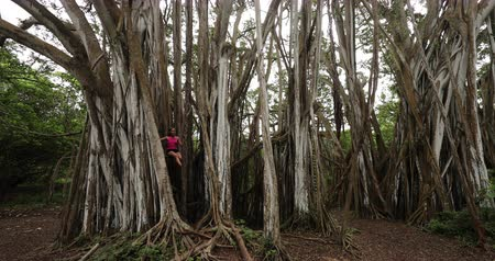 banyan : Hawaii nature - Woman sitting in banyan tree during hike on Oahu, Hawaii, USA. Fitness woman hiking and training and living healthy active outdoor lifestyle.