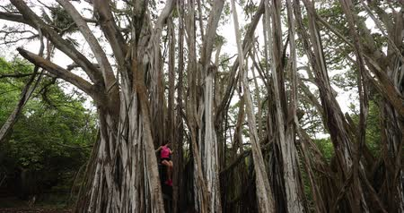 ormanda yaşayan : Hawaii banyan tree nature - Woman sitting in banyan tree during hike on Oahu, Hawaii, USA. Fitness woman hiking and training and living healthy active outdoor lifestyle in SLOW MOTION. 59.94 FPS. Stok Video