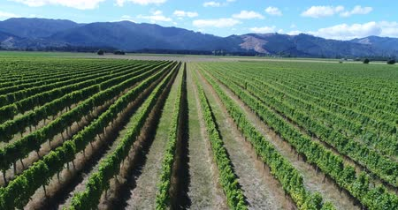 viticoltura : Vineyard on New Zealand Marlborough - grape vines for wine making of wine. Countryside farm fields showing viticulture. Aerial drone video.