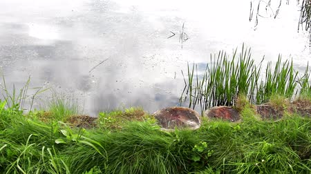 Water in the pond. A pond with wooden stumps. A sedge grows around the pond. Clouds are reflected in the water. The water is visible ripples from the wind. Stock Footage
