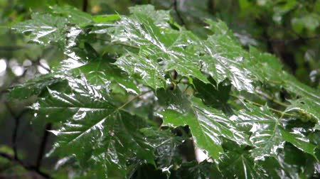 Rain dripping on the leaves of the tree. Green leaves in the droplets of rain water. Rain season. Focus on large maple leaves.