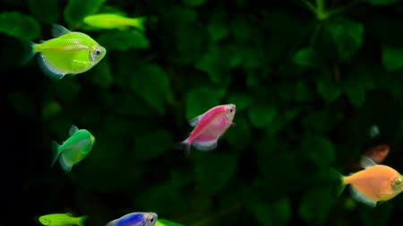 goldfish : Yellow and Red Goldfish Stock Footage