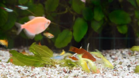 пресноводный : Close Up view of many different fish eating food in home aquarium.
