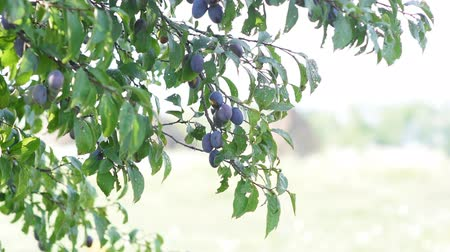 pea pods : Plum Fruit On A Tree On A Warm Autumn Day