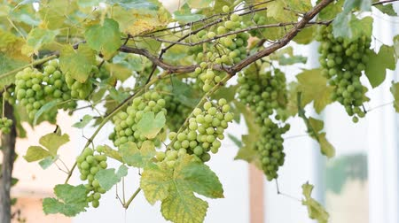 cachos : Grapes on maturity stage. Sunlight breaks through a green vineyard, a vine. Grape harvest.