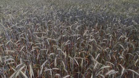 Flight over a cereal field Stock Footage