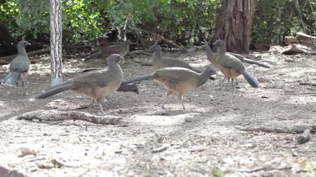 birds pecking waddling flock group Stok Video