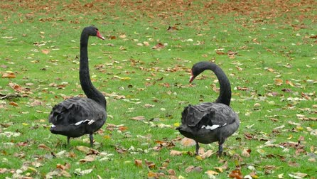 плотина : black swans birds swans black
