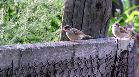 sparrows birds living nature summer