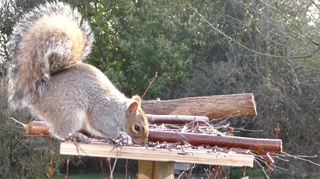squirrel gray squirrel bird table Stok Video
