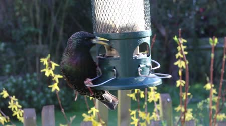 starling feeding feeder bird