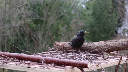 starling feeding garden birds uk Stok Video