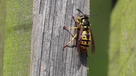 слоистых : wasp wood insect nature macro
