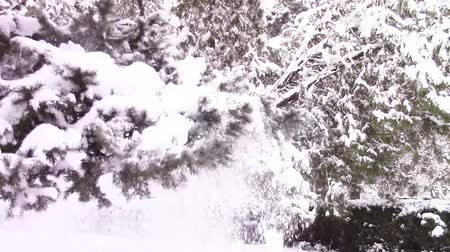 repetição : Shaking of a fir tree branch with repeated movements until all the heavy snow is falling off