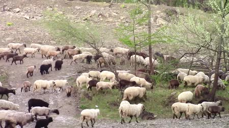 gregarious animal : Flock of sheep marching on a rocky terrain in search of a pasture or grassland Stock Footage