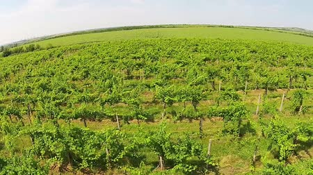 winnica : Rows of cultivated vine of a vineyard , ripening in the summer sun of  European temperate climate Wideo