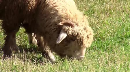 koyun : Couple of sheep closeup on the meadow while grazing and slowly advancing forward